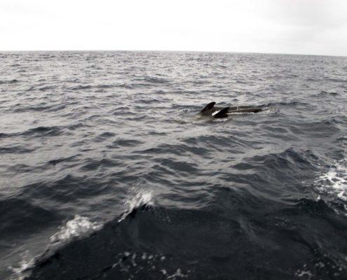 Delfine in der Biskaya
