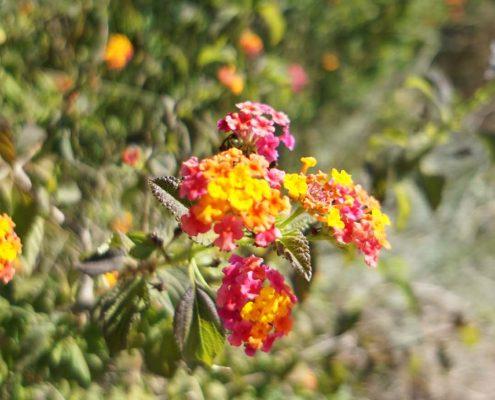 Sancti Petri - Spanische Blume