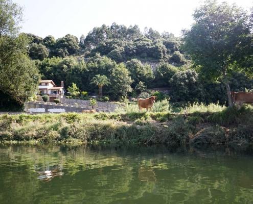 Ribadasella, den Ria hoch mit Kuh